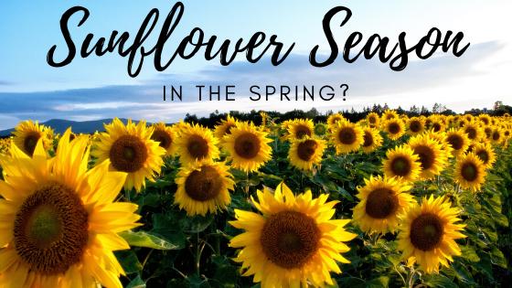 sunflower_season_at_under_kentucky_sun